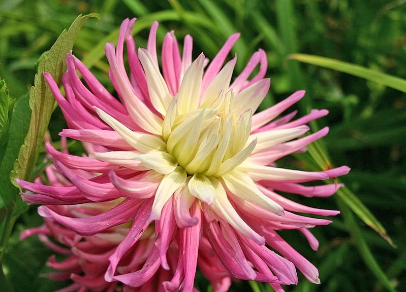 Как ускорить цветение георгинов?