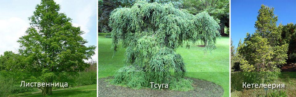 Виды хвойных деревьев