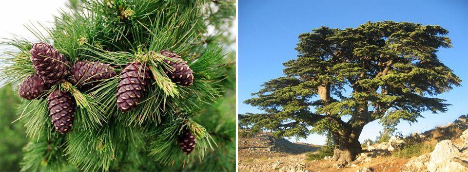 Дерево кедр