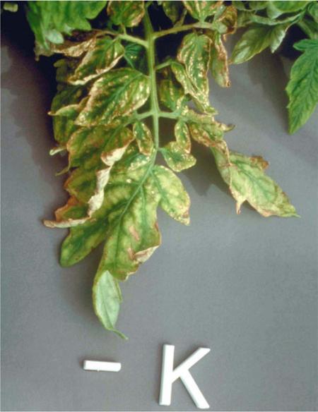 Дефицит калия у томатов хорошо заметен по листья