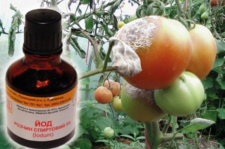 Йод - отличное средство для защиты томатов от фитофторы