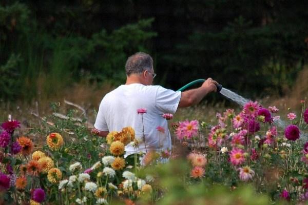 Цветы георгины посадка и уход