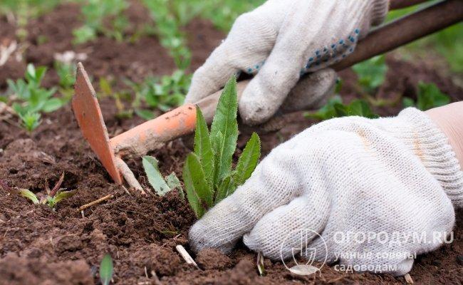 Прополка сорняков и рыхление почвы входят в число обязательных мероприятий