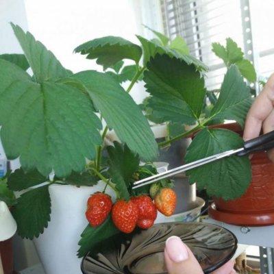 Срезание ягод клубники
