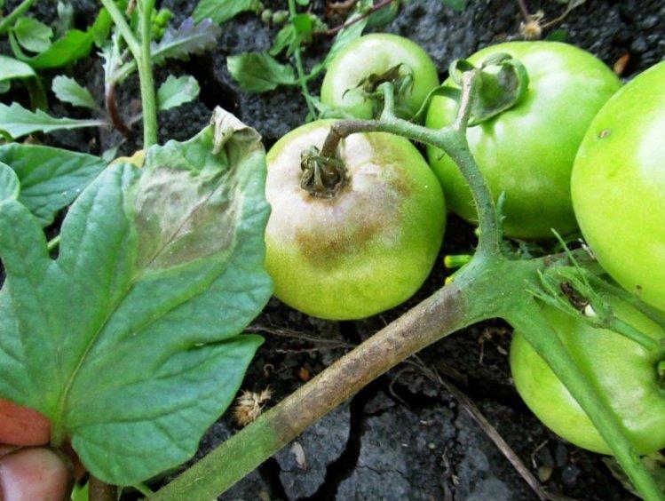 Образование вершинной гнили на томатах