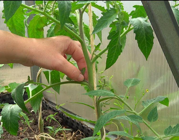 Пасынкование помидор в теплице