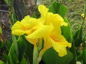 Описание цветка канна