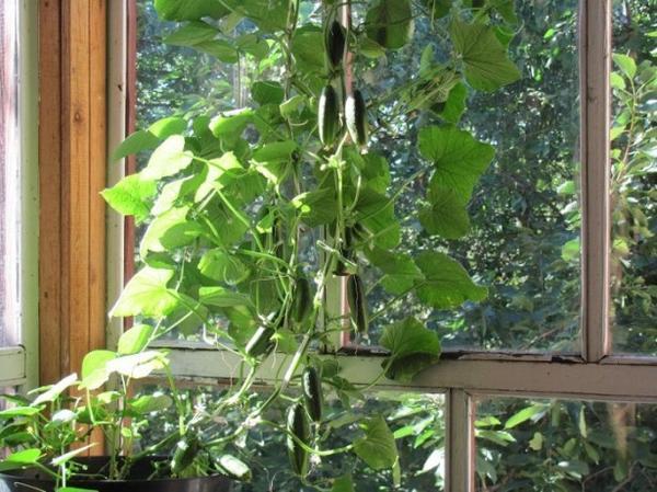 Технологии круглогодичного выращивания огурцов в домашних условиях давно опробованы