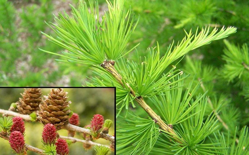 Как выглядит лиственница: внешний вид дерева и его фото