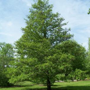 Как выглядит дерево Ольха?