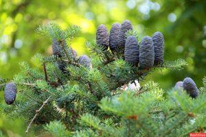 кедр дерево описание
