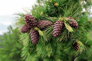 кедр голосеменное растение