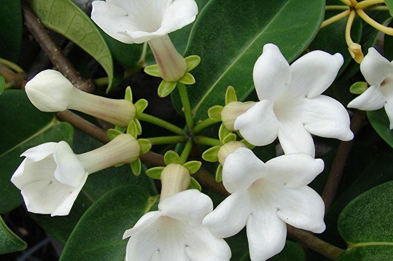 Стефанотис - Вьющиеся комнатные растения, которые цветут