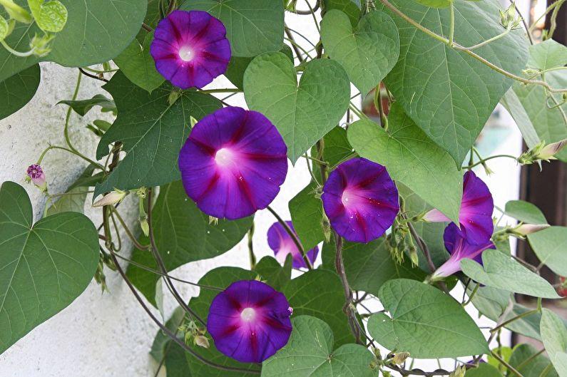 Ипомея трехцветная - Вьющиеся комнатные растения, которые цветут