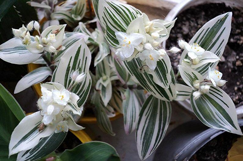 Традесканция - Вьющиеся комнатные растения, которые цветут