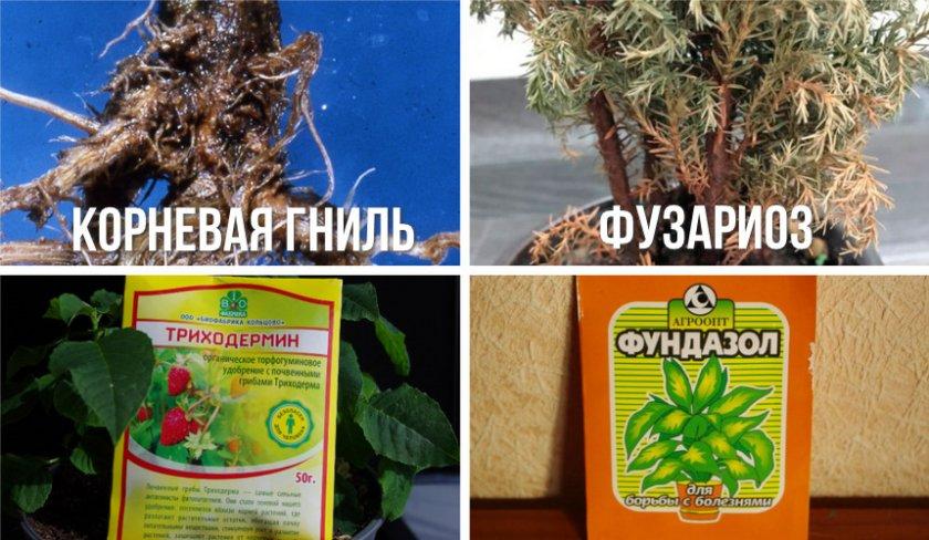 Выращиваем кипарис из семян в домашних условиях