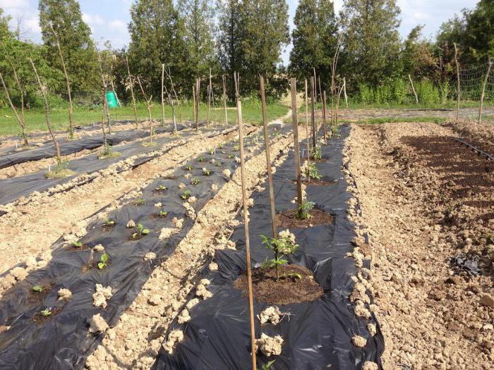 борьба с сорняками с помощью черной пленки