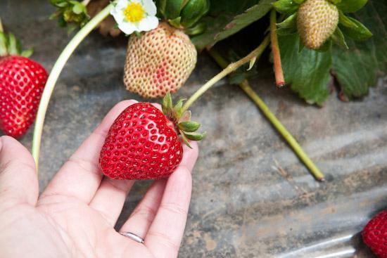 выращивание под агроволокном