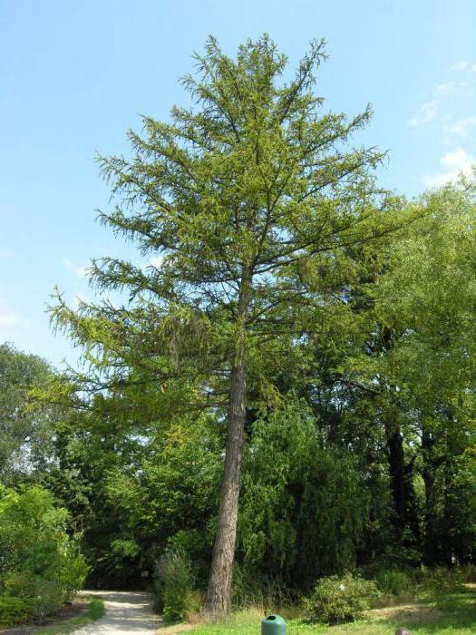 лиственница сибирская сколько живет