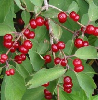 красная ягода
