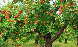 Отзывы о лучших сортах карликовых подвоях яблонь