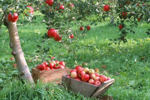 Форум о карликовых и полукарликовых сортах яблонь