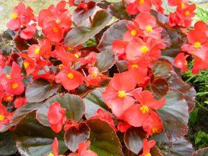 Броваллия — цветущий кустик