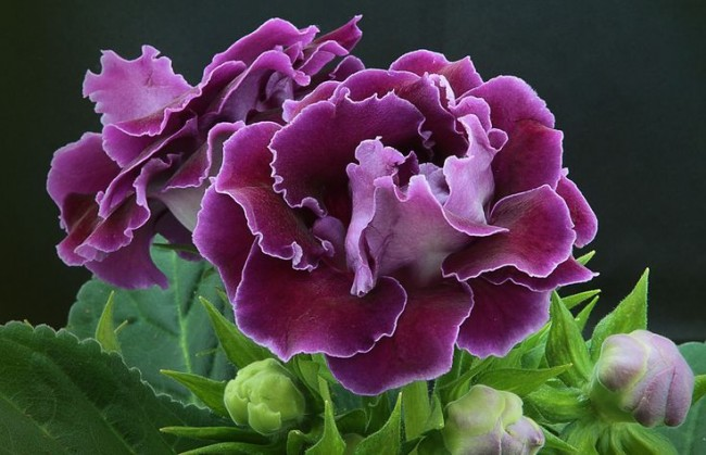 В наше время домашние глоксинии ценятся за красивую декоративную листву и необыкновенное цветение