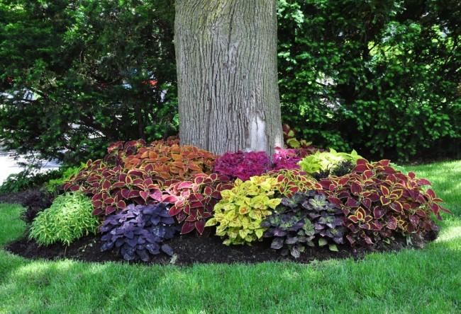 Колеусы сочетают в себе красоту, быстрый рост, выносливость и простоту в уходе, так же возможность выращивания их как в домашних условиях и на открытом воздухе