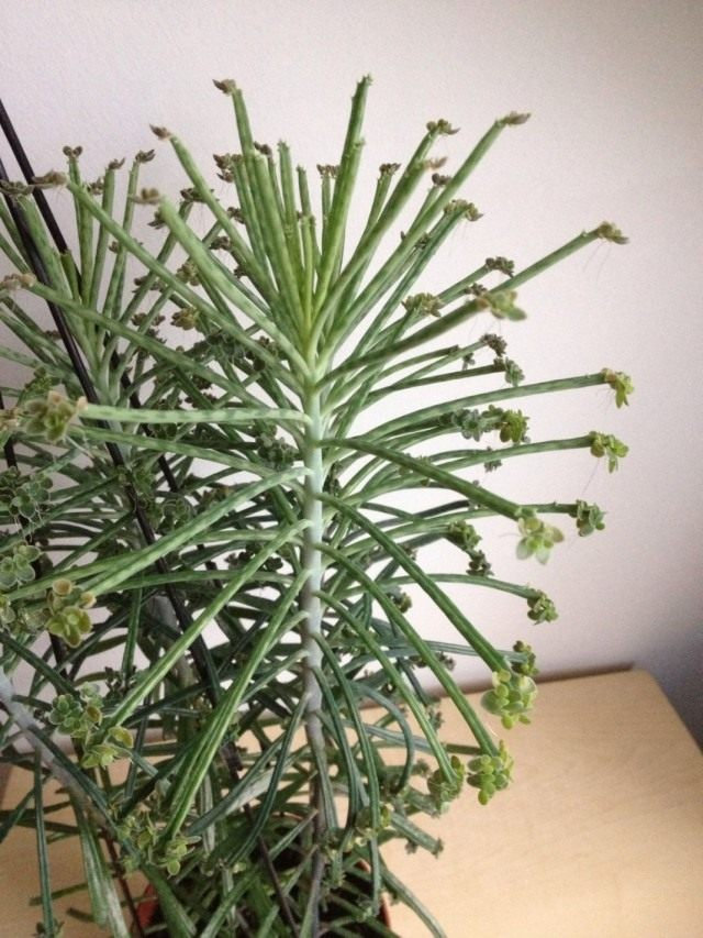 Бриофиллум трубкоцветный (Bryophyllum delagoense)