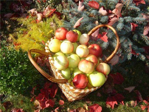 Сбор урожая яблок сорта Президент