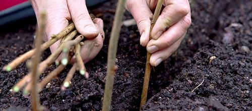 Как укоренять черенки: укоренение в грунте