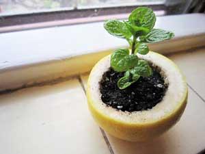 Лайфхак для выращивания рассады. Посуда из кожуры цитрусовых