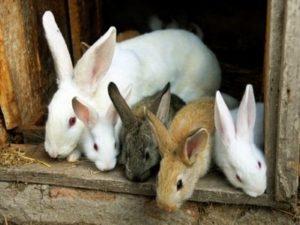 Плюсы и минусы разведения кроликов