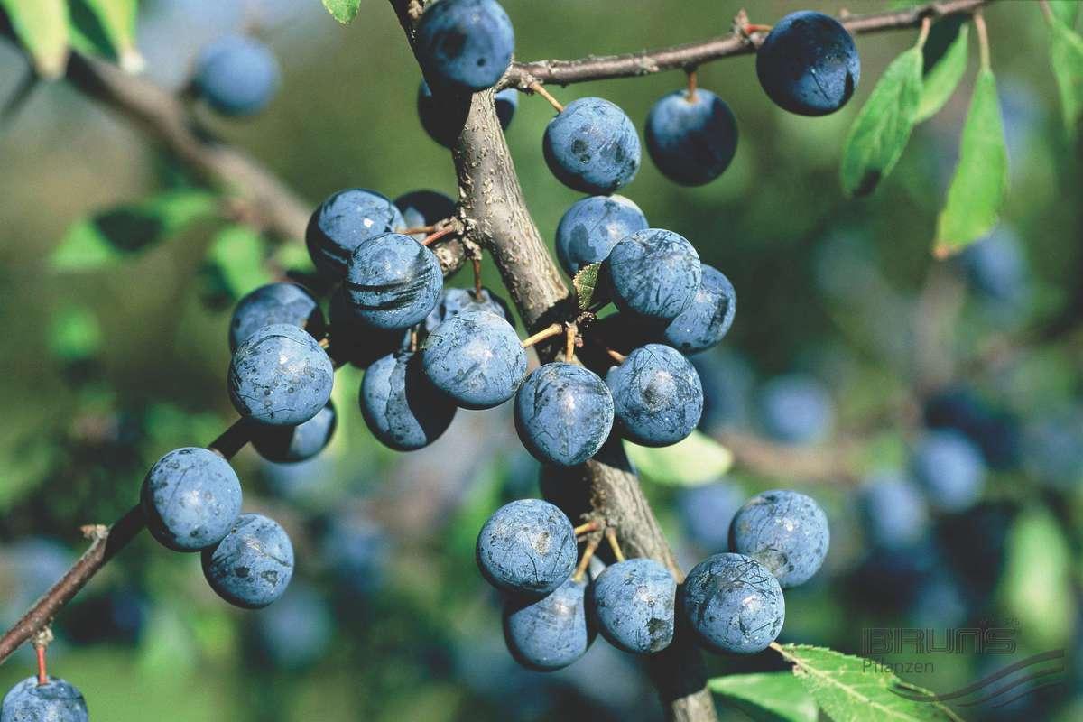 Терн вишневый