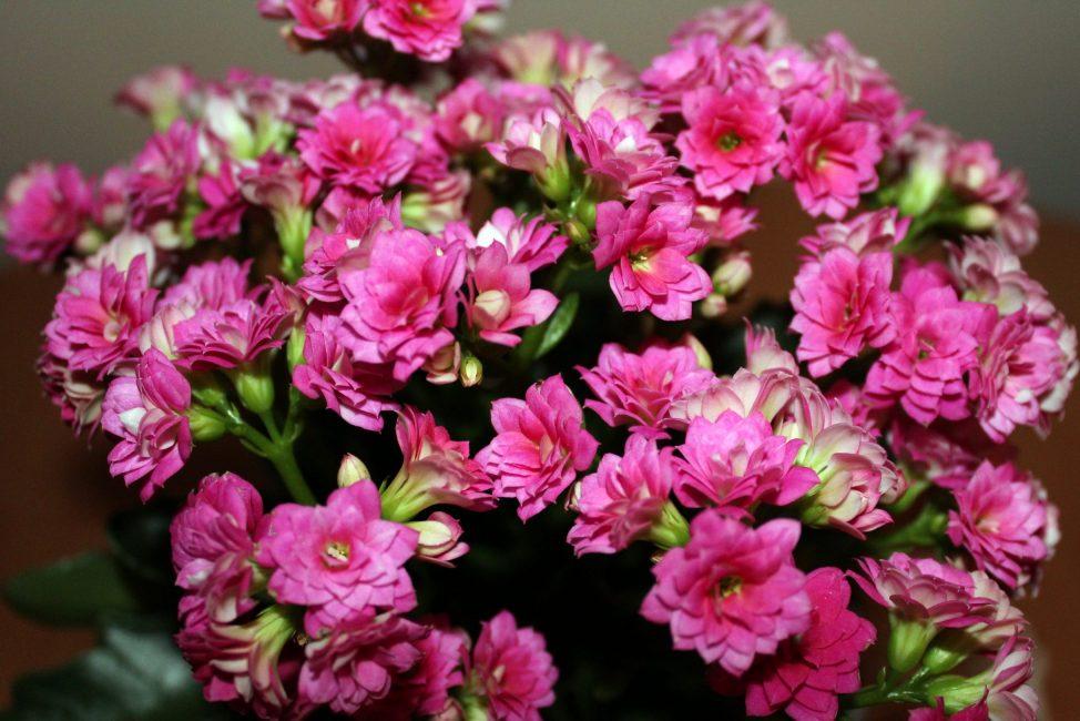 Цветок Каланхоэ (120+ Фото & Видео) - уход в домашних условиях, пересадка, размножение, полезные свойства +Отзывы