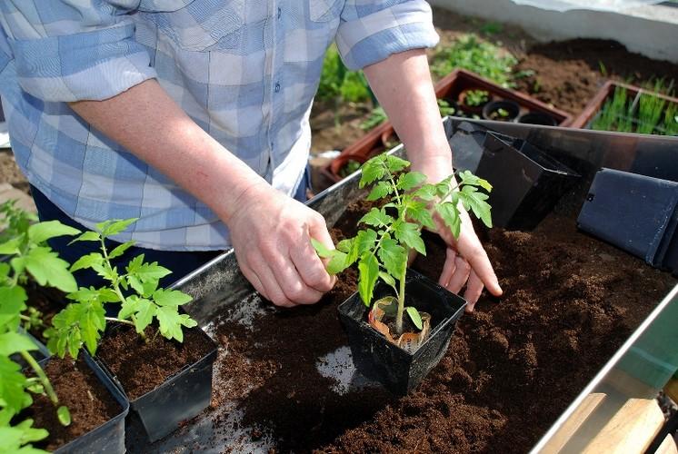 Подкормка томатов в теплице – какие удобрения нужны для богатого урожая?
