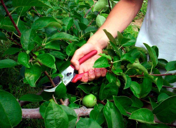 Обрезка карликовых яблонь