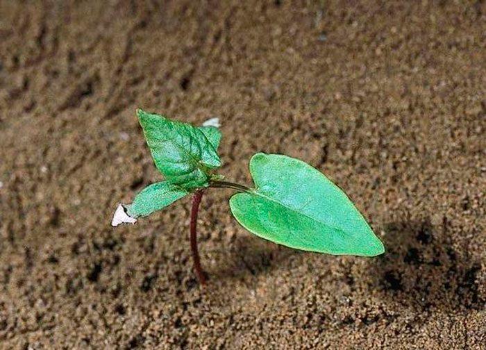 Выращивание вьюнка из семян