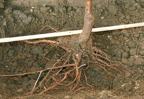 Как посадить карликовую яблоню весной