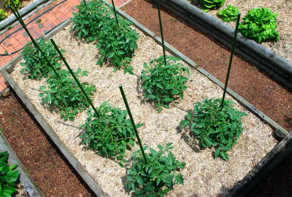 Доказано, что мульчирование существенно (почти на 30%) поднимает урожайность.