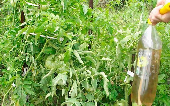Опрыскивание зеленых томатов