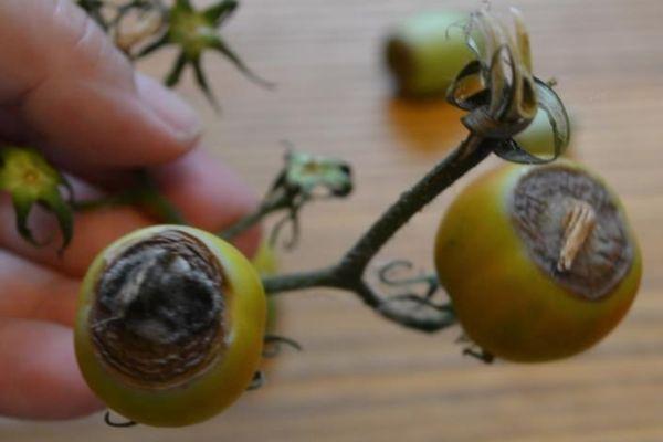 Почерневшие плоды