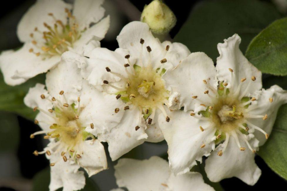 Цветки эриоботрии Стерна
