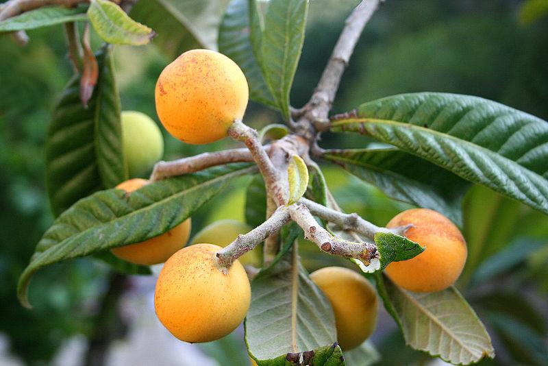 Японская локва по внешнему виду и вкусу напоминает абрикос
