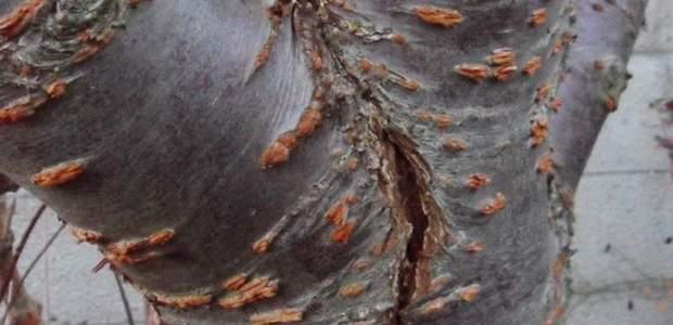Лечение коры плодовых деревьев