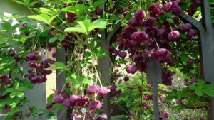 Акебия - шоколадная экзотика в саду и дома