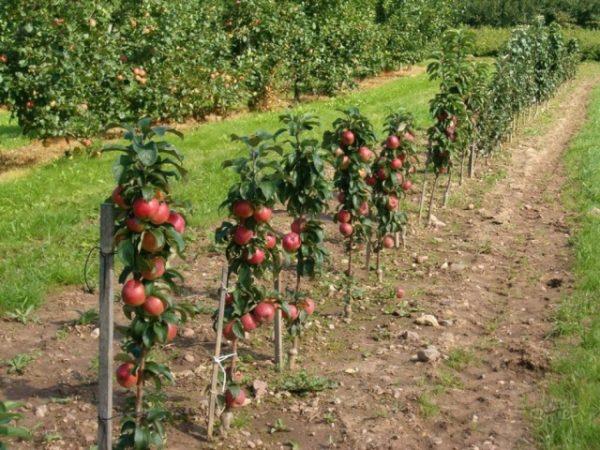 обрезка колоновидной яблони на осень