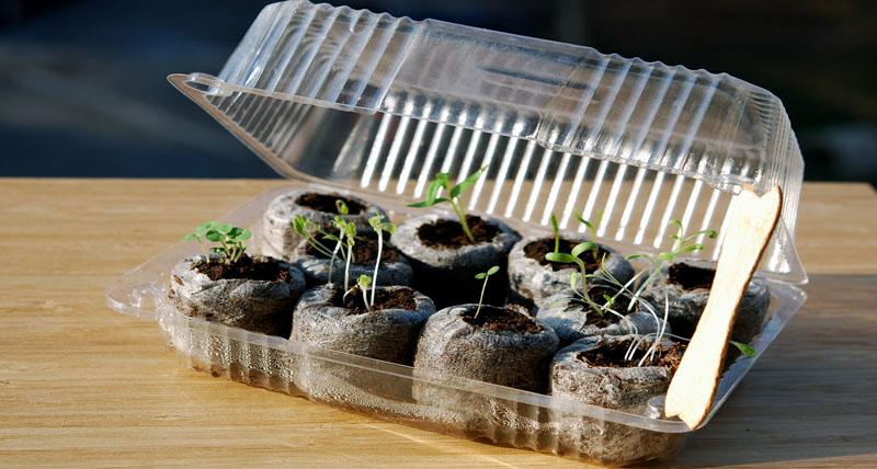 Для проращивания семян можно использовать контейнер из-под торта, но в дневное время обязательно проветривать всходы