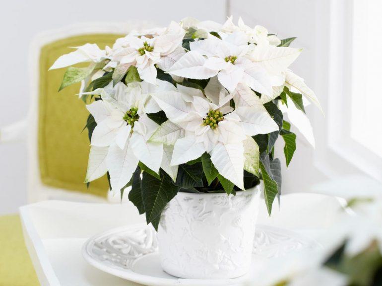 Белые пуансеттии